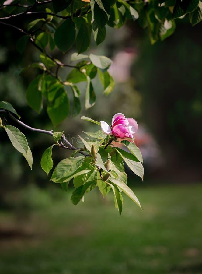 Rosa Magnolie auf einem Baum Sommer lizenzfreie stockbilder