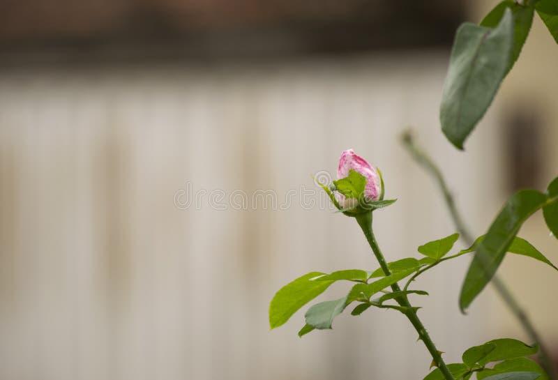 Rosa makro för enkel blommafärg med kronblad royaltyfri bild
