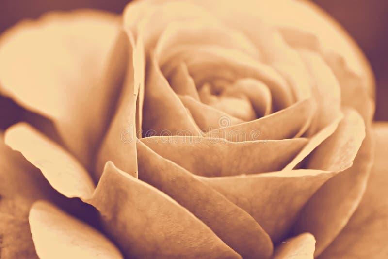 Rosa makro, retro fotoeffekt royaltyfri foto