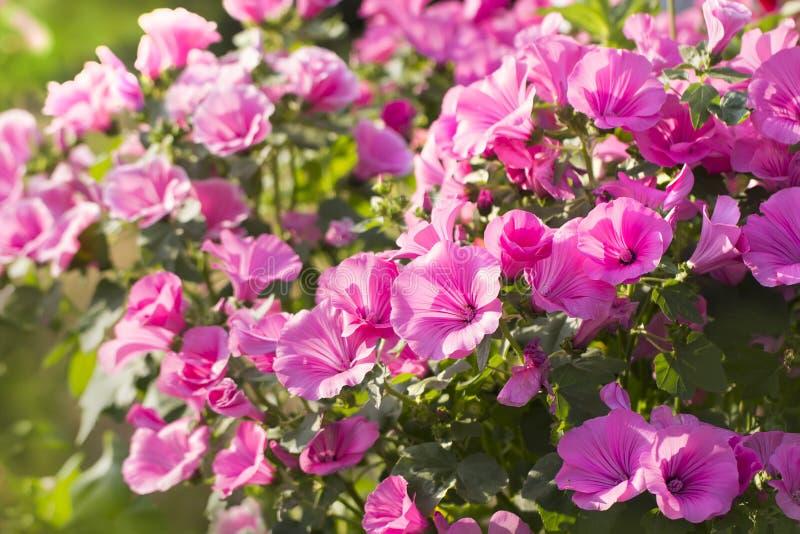 Rosa malva på en blomsterrabatt en färgrik sommarbakgrund royaltyfri bild