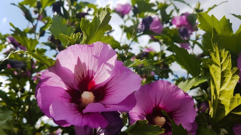 Rosa malvablommor i gröna buskar royaltyfria foton