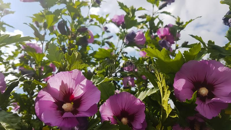 Rosa malvablommor i gröna buskar arkivbild