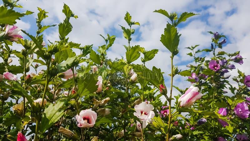 Rosa malvablommor i gröna buskar arkivfoto
