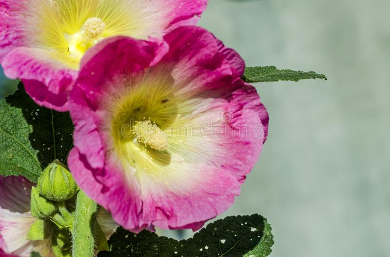 Rosa malvablommor royaltyfria foton