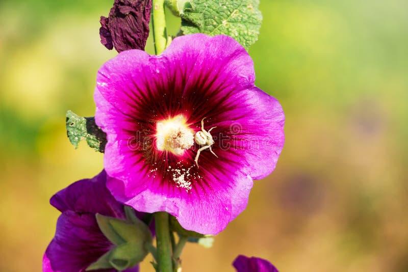 Rosa malvaslut upp på en oskarp bakgrund Spindel på en flower_ arkivfoto