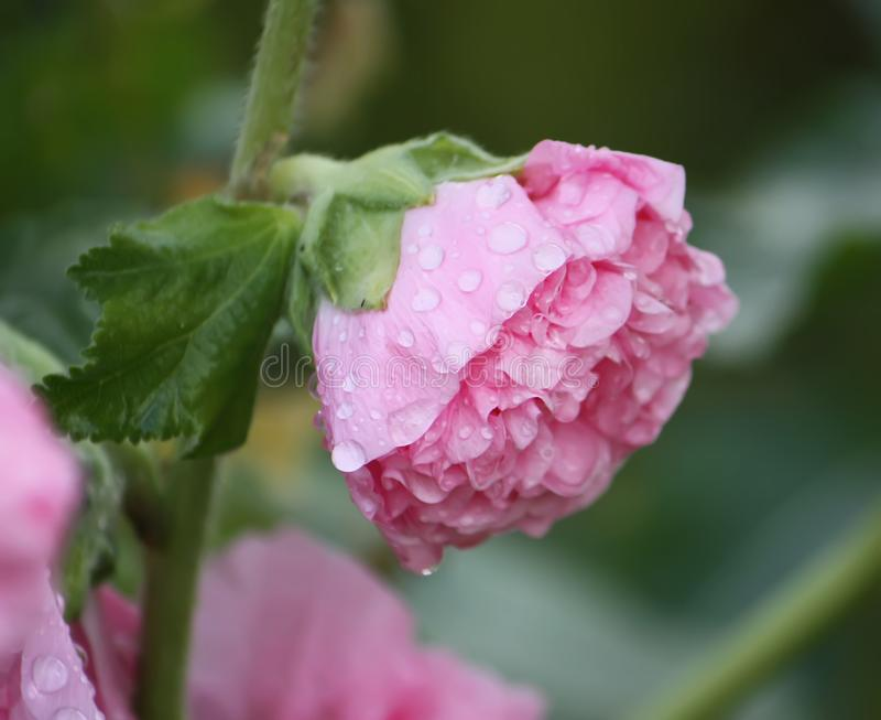 Rosa malvaväxter fotografering för bildbyråer