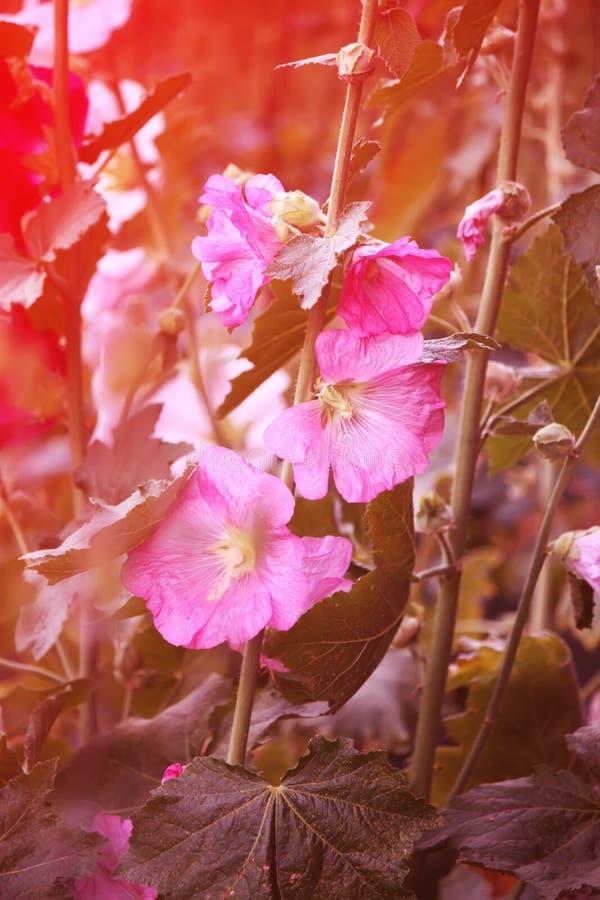 Rosa malvaväxter arkivfoton