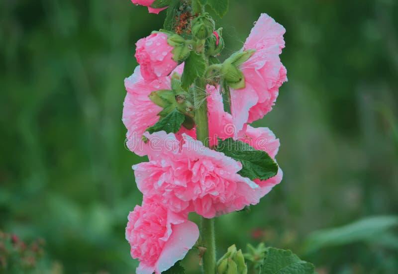 Rosa malvaväxter arkivfoto