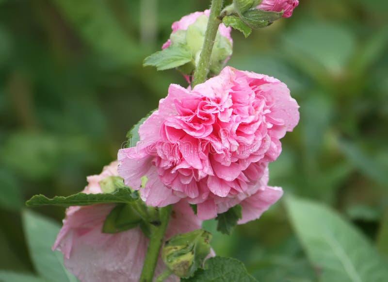 Rosa malvaväxter royaltyfri foto