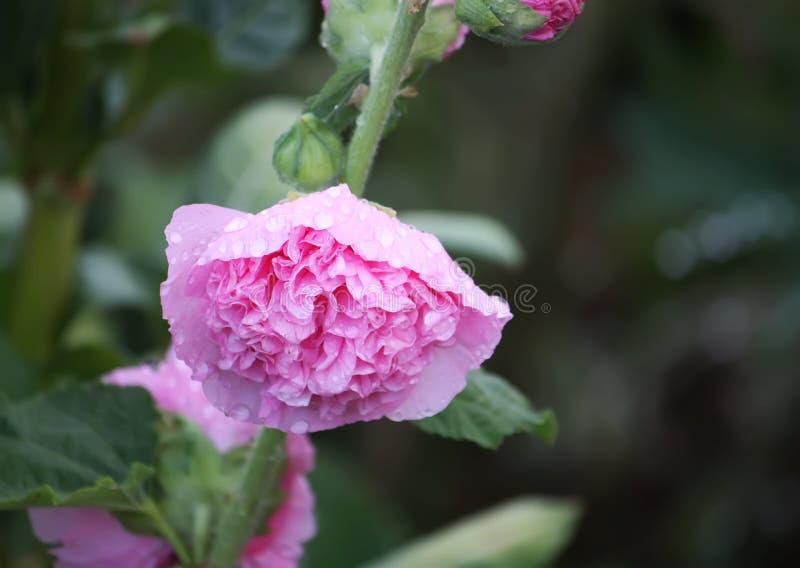 Rosa malvaväxter royaltyfri fotografi
