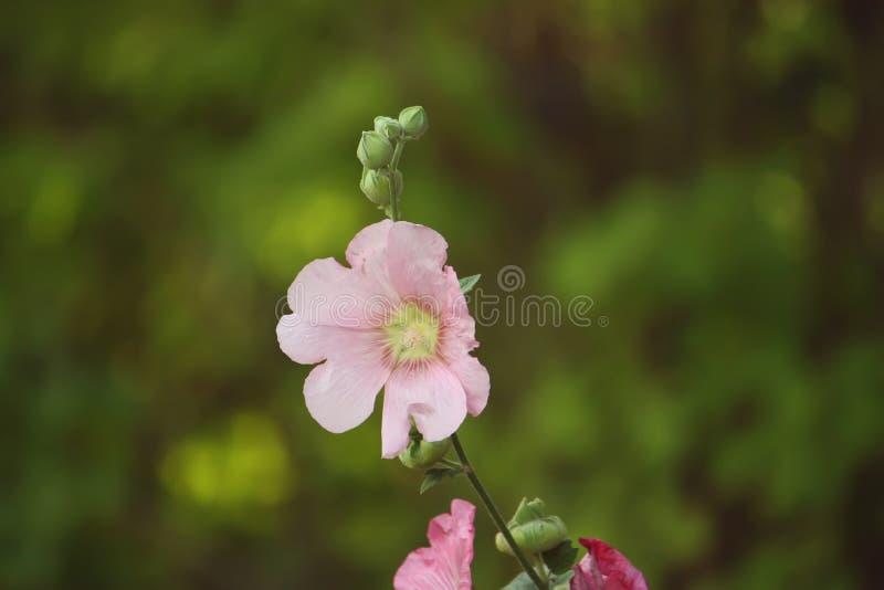 Rosa malvaväxter arkivbild