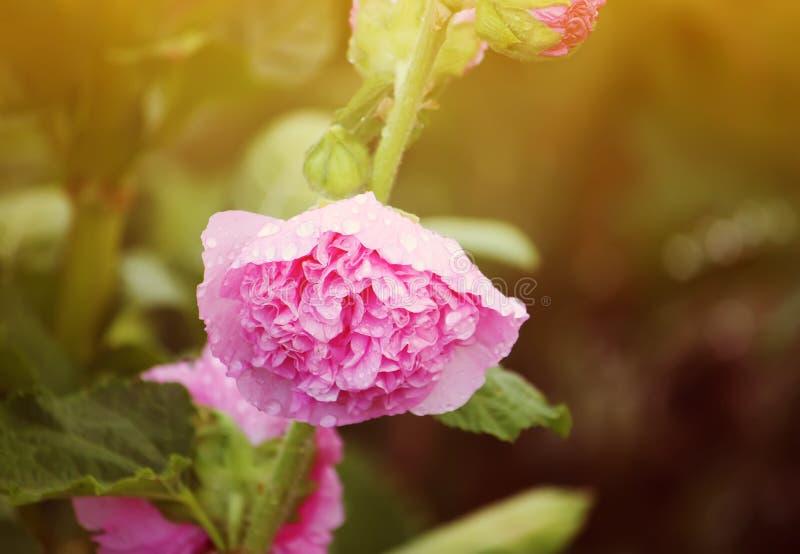 Rosa malvaväxter royaltyfri bild