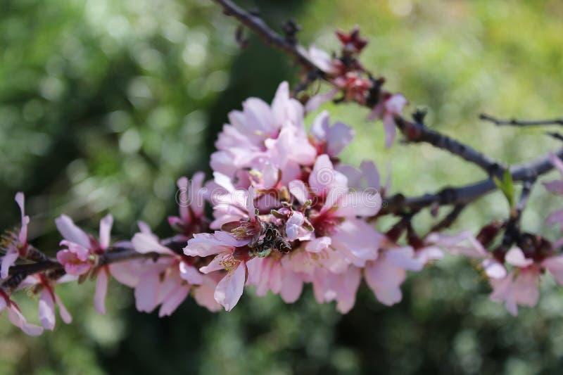 Rosa Mandelbaumast in der Blüte stockfotografie
