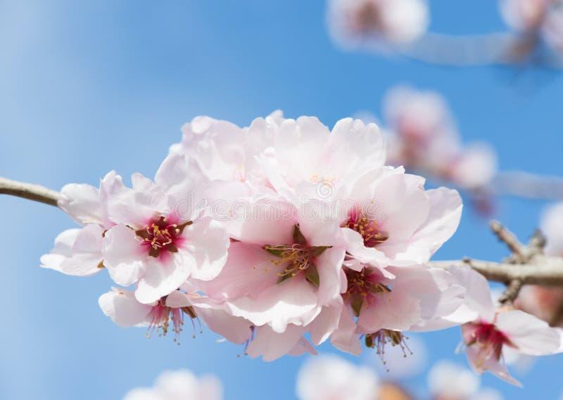 Rosa mandelblomning fotografering för bildbyråer