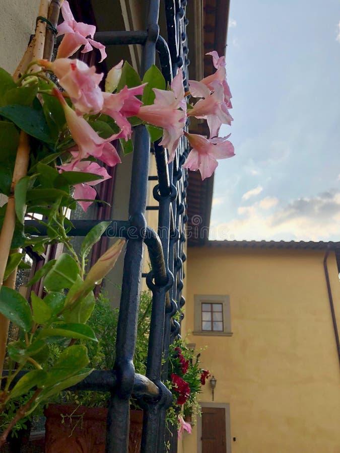 Rosa Mandevillas bredvid ironwork och gulingbyggnad arkivfoton
