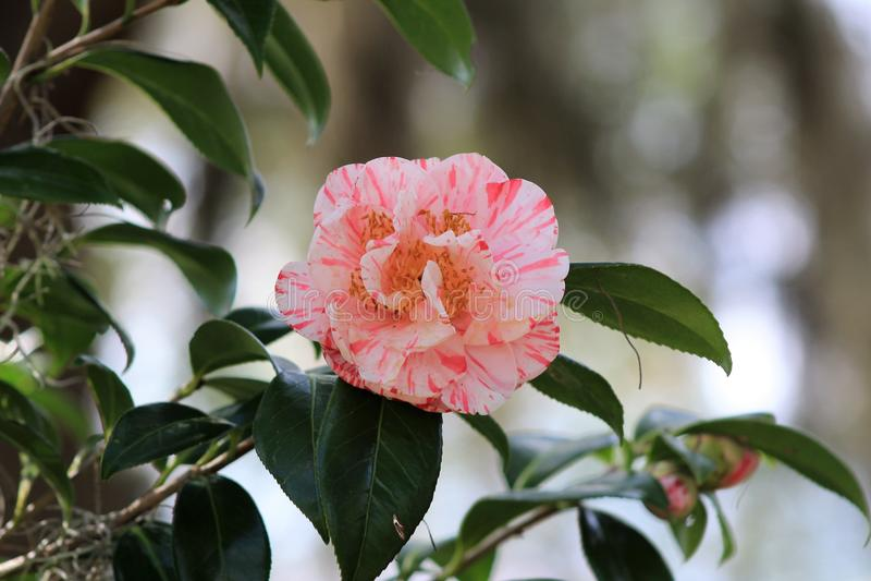 Rosa matizado no jardim foto de stock royalty free