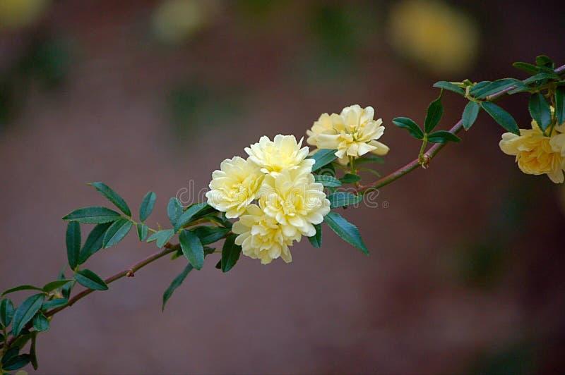 Rosa miniatura del amarillo imagen de archivo