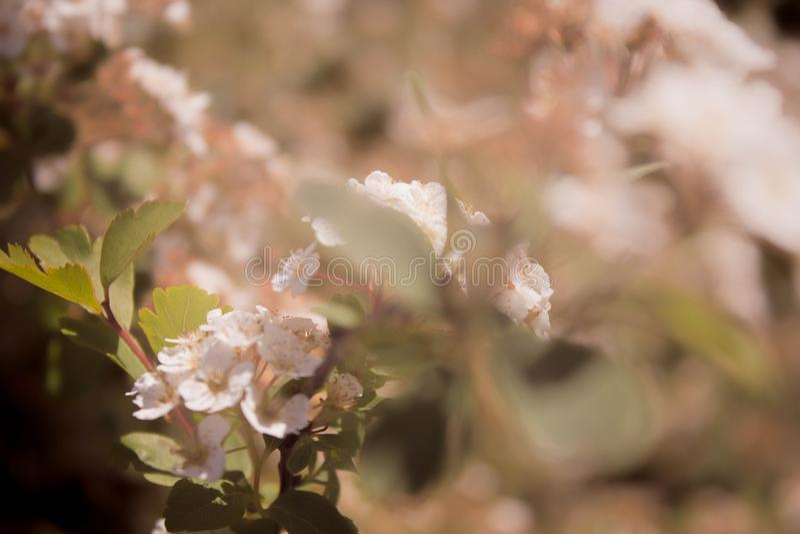 Rosa mjuka blomstra sakura för vår blommor på ett slut för trädfilial upp med en suddig bakgrund royaltyfri foto
