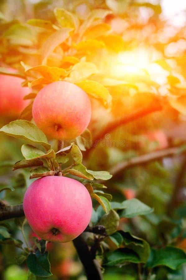 Rosa mogna äpplen i trädgården med den ljusa solen Ljusa röda äpplen med solljus royaltyfria bilder