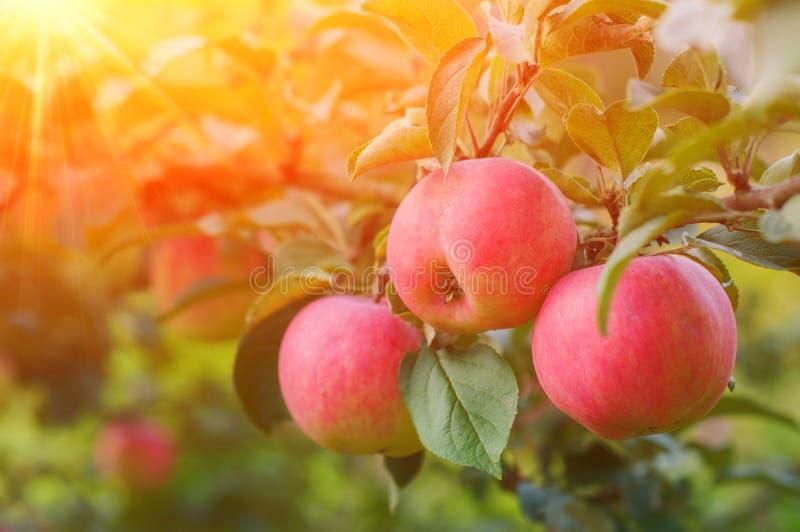 Rosa mogna äpplen i trädgården med den ljusa solen Ljusa röda äpplen med solljus fotografering för bildbyråer