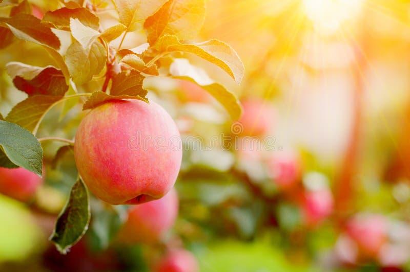 Rosa mogna äpplen i trädgården med den ljusa solen Ljusa röda äpplen med solljus arkivbild