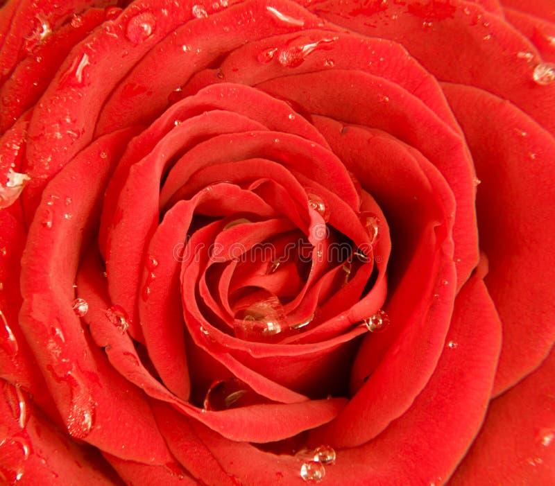 Rosa mojada del rojo, cierre para arriba foto de archivo