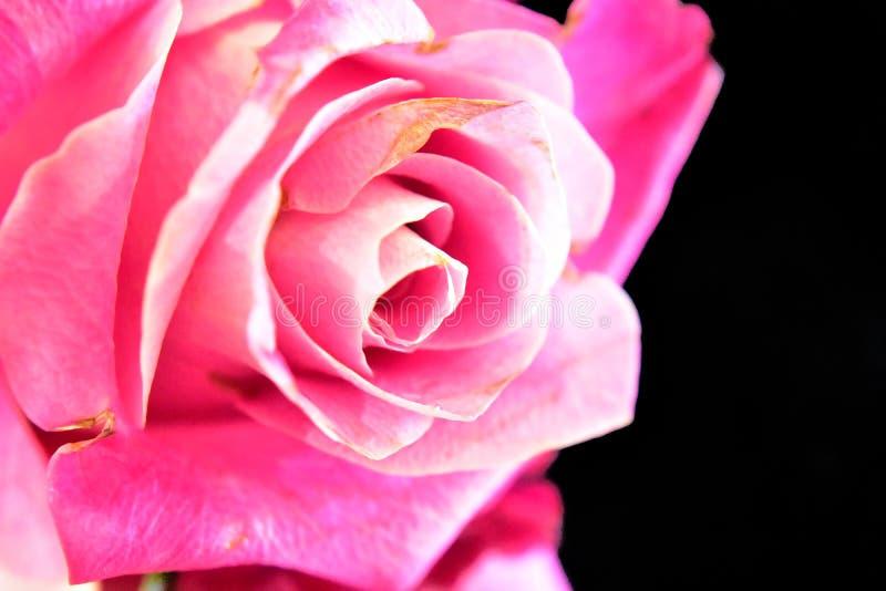 Rosa molto abbastanza variopinta nel sole immagine stock