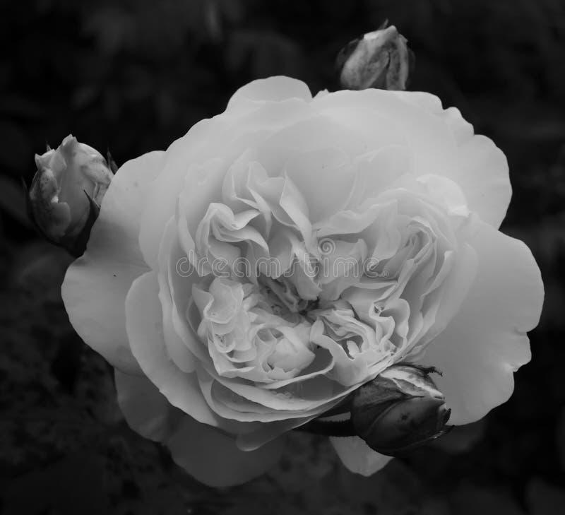 Rosa monocromática do branco com botões fotos de stock royalty free
