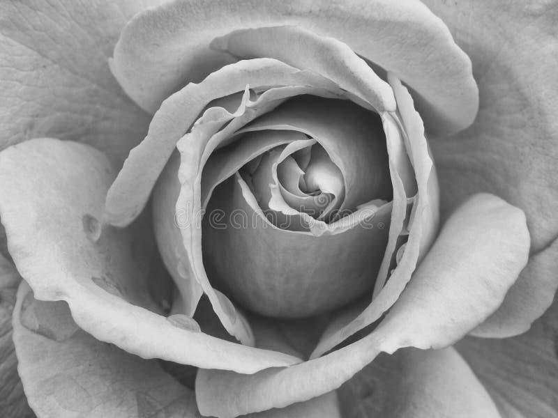 Rosa monocromática do branco - próxima foto de stock royalty free