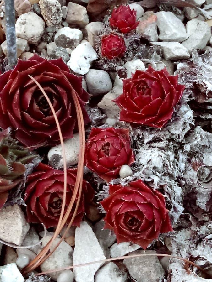 Rosa muerta arkivfoto