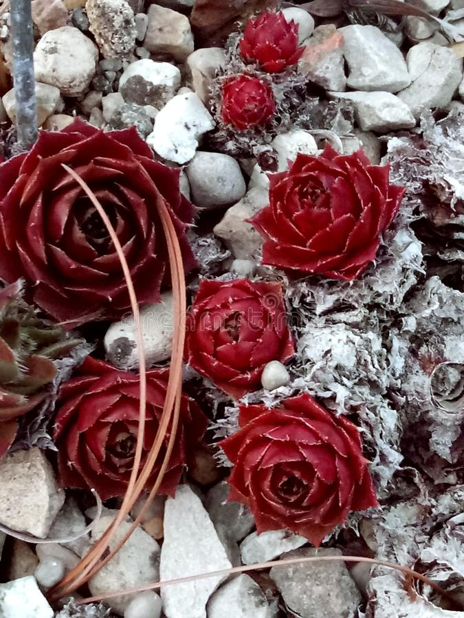 Rosa muerta stock foto