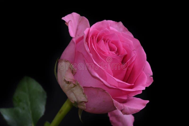 Rosa muito consideravelmente colorida na luz do sol fotos de stock
