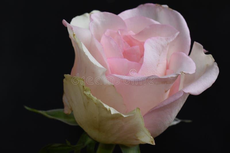 Rosa muito consideravelmente colorida na luz do sol fotos de stock royalty free