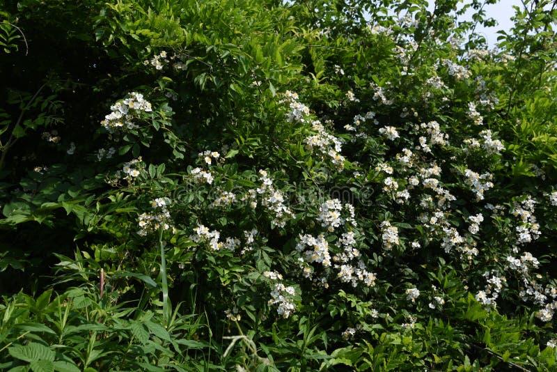 Rosa multiflorajapan steg royaltyfri foto