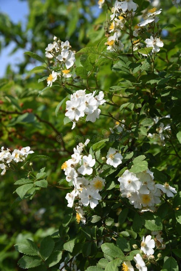 Rosa multiflorajapan steg royaltyfria foton