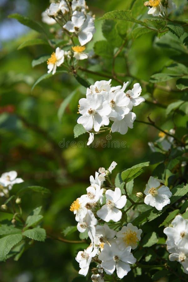 Rosa multiflorajapan steg royaltyfri bild