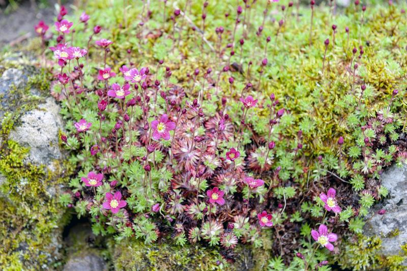 Rosa musgoso da saxífraga com crescimento de flores brilhante e macio-cor-de-rosa em forma de xícara da flor em pedras musgosos m fotografia de stock