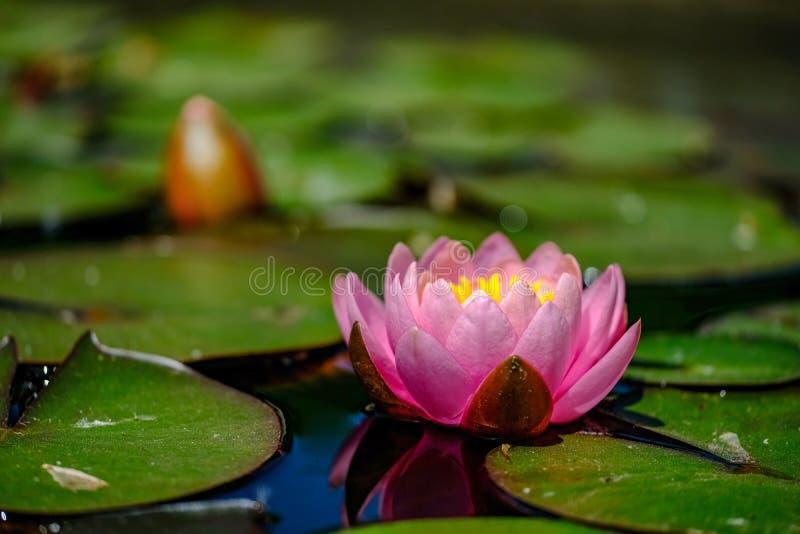 Rosa näckros på en sjö royaltyfri fotografi