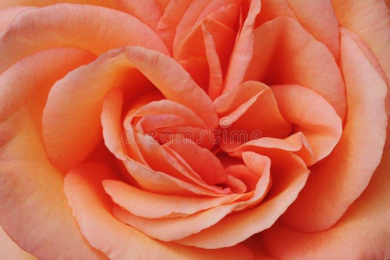 Rosa närbild för persika royaltyfria foton