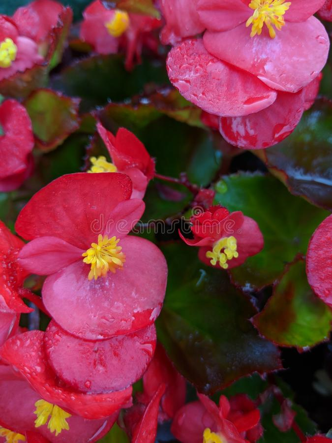 rosa nätt för blommor arkivfoto