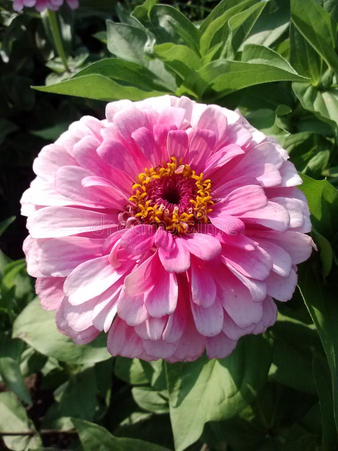 rosa n?tt f?r blomma arkivfoton