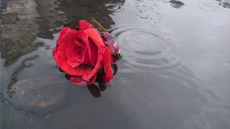 Rosa na chuva fotografia de stock