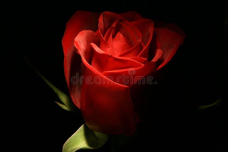 Rosa na escuridão fotos de stock