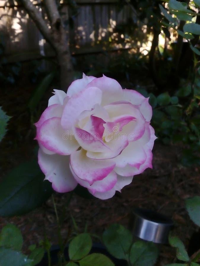 Rosa na flor imagem de stock royalty free