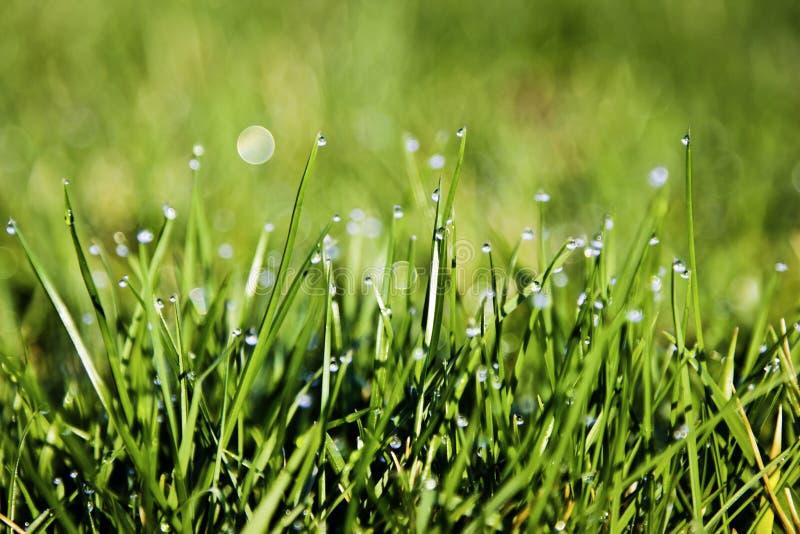 Rosa na trawie przy wschodem słońca obrazy royalty free