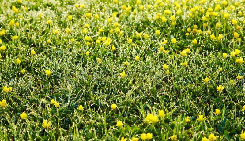 Rosa na trawie wcześnie żółtych małych florets w ranku wewnątrz i obraz stock