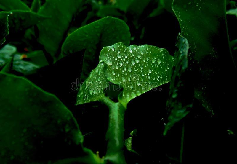 Rosa na zielonych liściach po podeszczowego skutka naturalnego fotografia stock