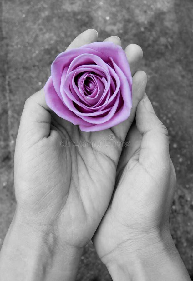 Rosa nas mãos foto de stock royalty free