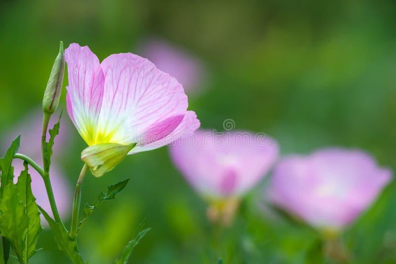 Rosa nattljus (oenotheraspeciosaen) royaltyfri foto