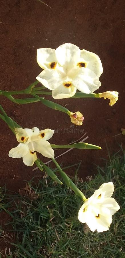 Rosa natural del Limpopo imagenes de archivo